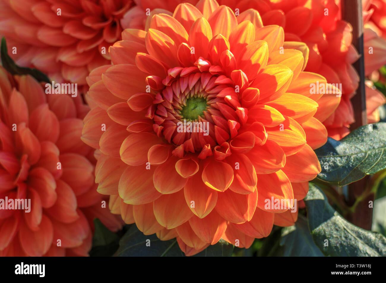 Close up of dahlia flowers Stock Photo