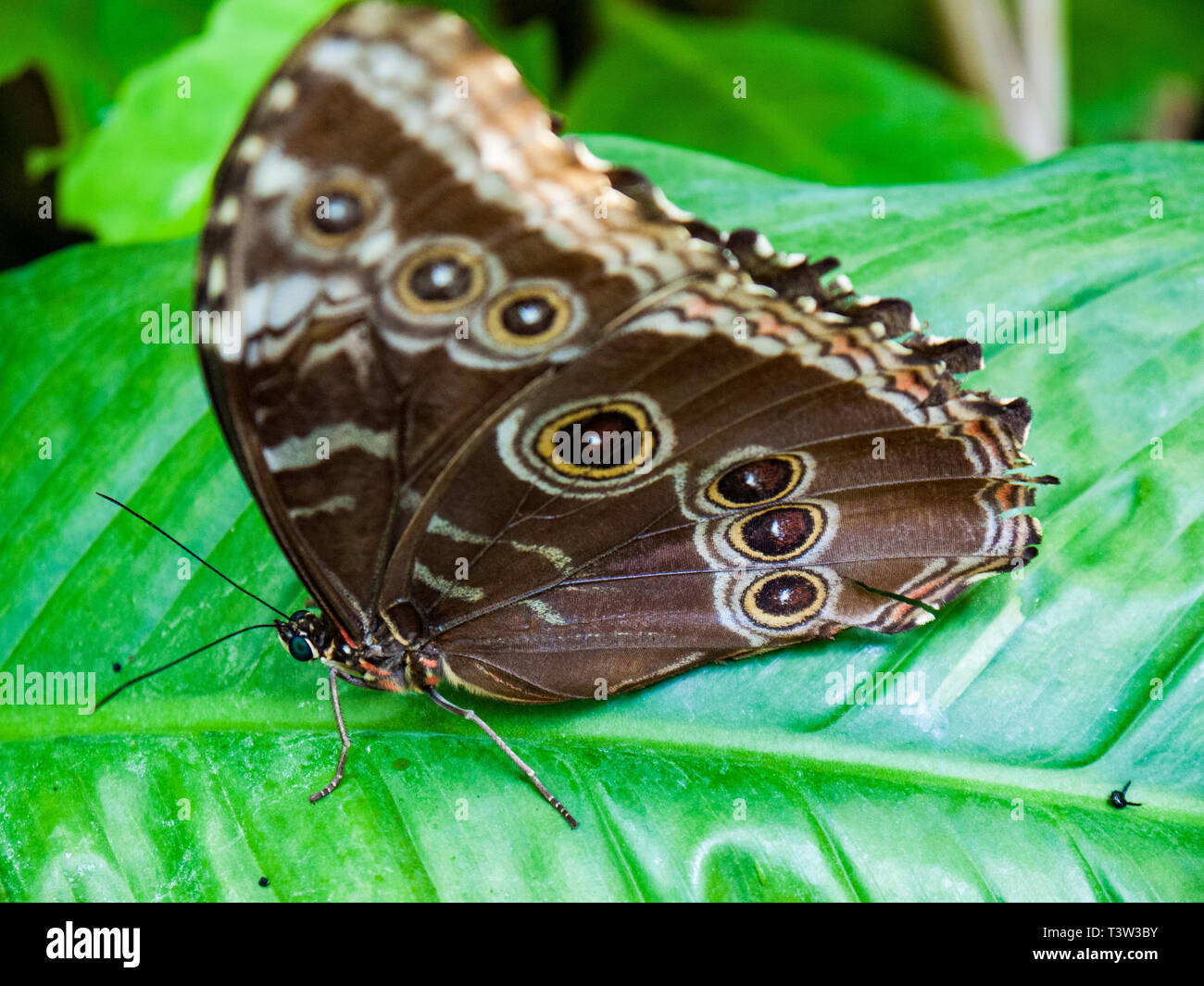 Owl butterly, tropical house, Amsterdam zoo, the Netherlands - Stock Image