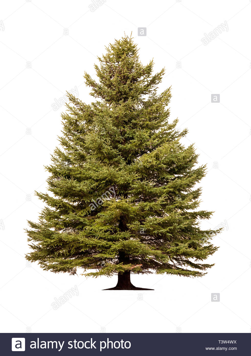 Norway spruce Picea abies European spruce tree on white background - Stock Image