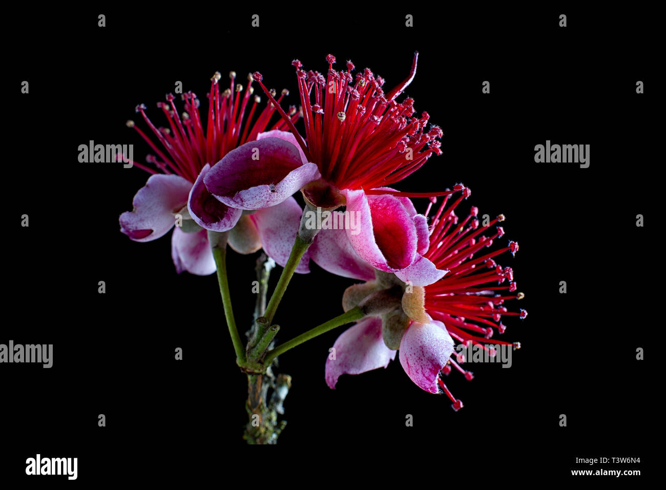 Flower Of Guava Stock Photos Flower Of Guava Stock Images Alamy