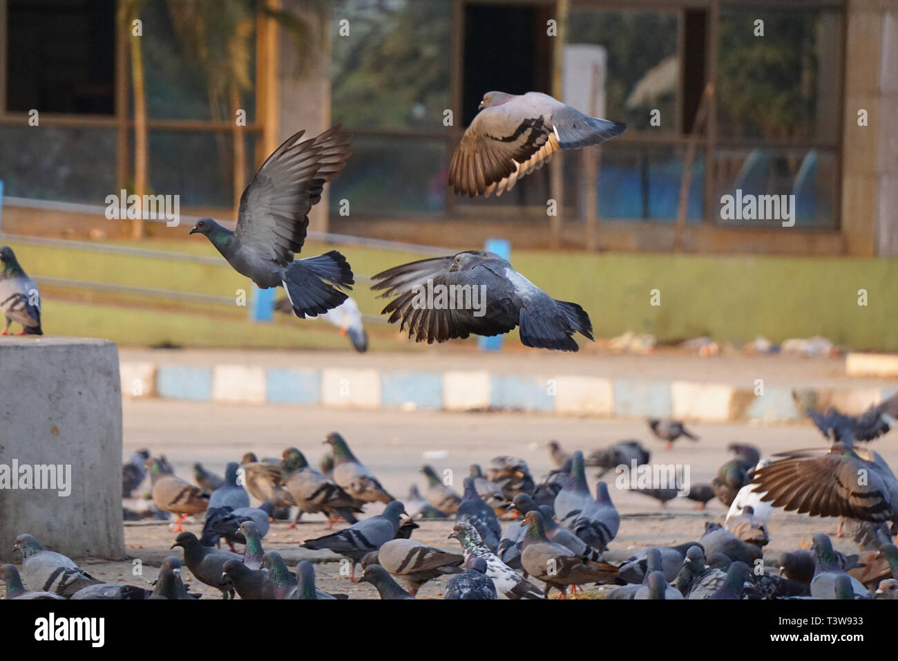 Three Pigeons flying and many pigeons sitting on the ground - Stock Image