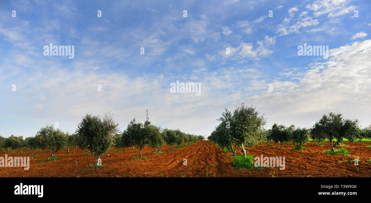 An Olive plantation in the mountainous region of Jordan. - Stock Image