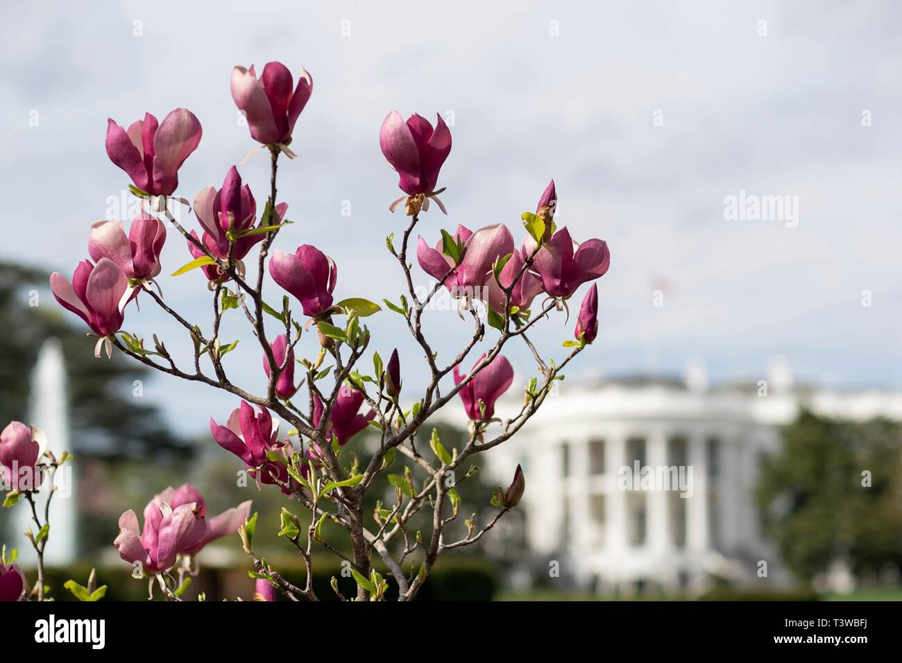 Magnolia Tree Blossoms During Spring Along The South Lawn Of The