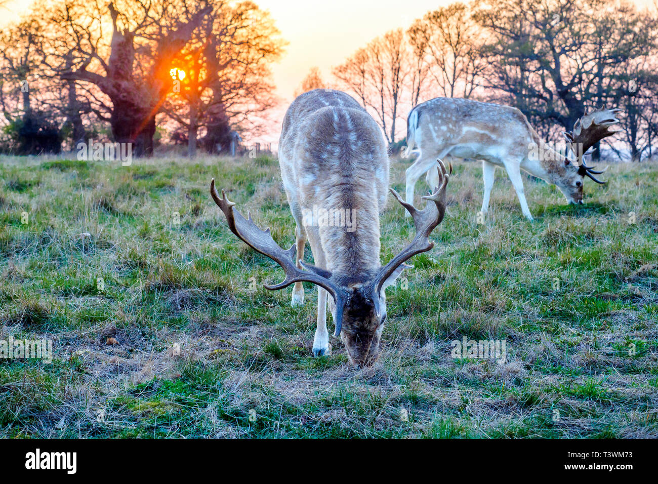 Deer in Richmond Park - Greater London, England - Stock Image