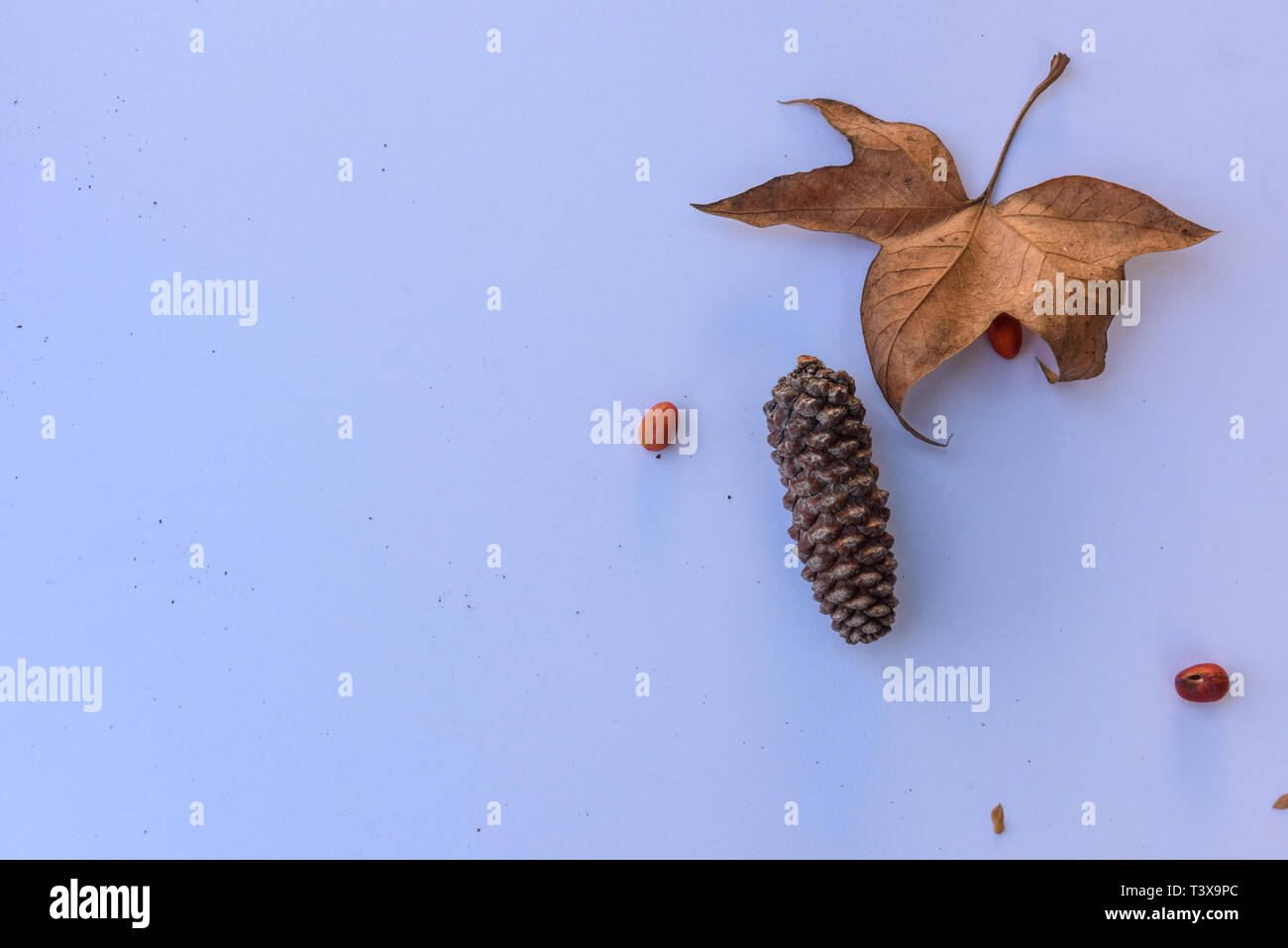 Botanical still life of leaves, pine cones, plants and berries in brown tones against white background. - Stock Image