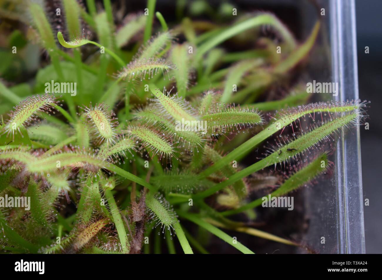 Fleischfressende Pflanze Sonnentau, Carnivore Drosera - Stock Image