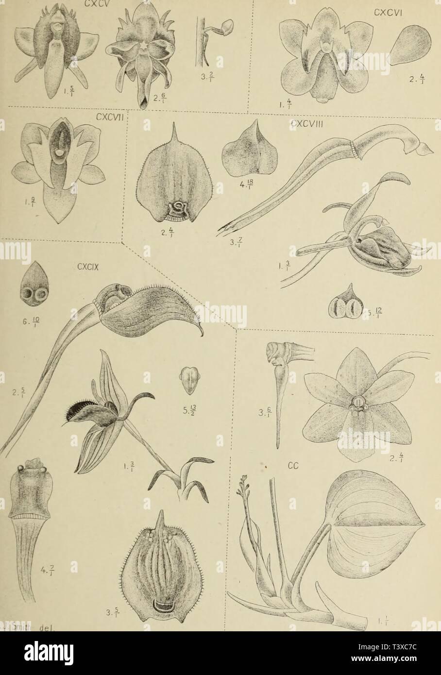 Archive image from page 162 of Die orchideen von Java (1905). Die orchideen von Java  dieorchideenvonj16smit Year: 1905  cxcv CXCVI    J.J.Smith del cxcv. Microstyäs oculata Rchb.f. occw comrrwMnifblia 'Zoll. T LlpanS TÜTl L»dL, °*r- brevixtyUs JJS M.Kromohardjo lith cxcv:. Mterostylis obovata J../. S m.Lwarü montana Lndl t radescantilfolia L ndl. - Stock Image