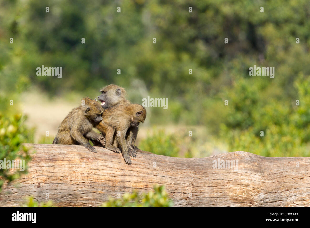 A small group of Olive baboons fighting on a fallen tree, landscape format, Ol Pejeta Conservancy, Laikipia, Kenya, Africa Stock Photo