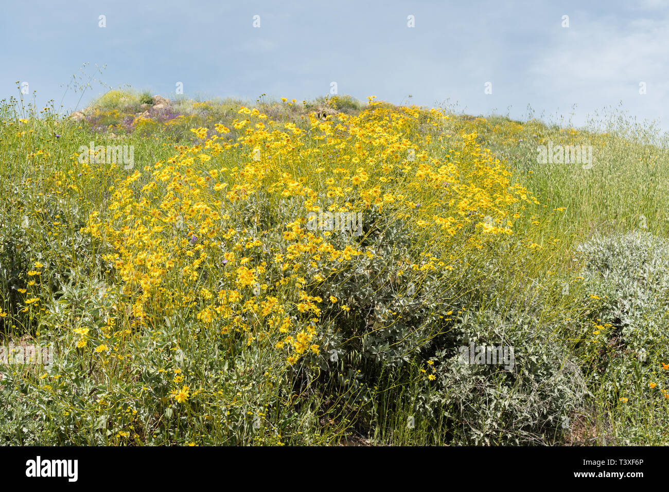 Beautiful wild flowers - a part of the superbloom phenomena in the Walker Canyon mountain range near Lake Elsinore, Southern California Stock Photo
