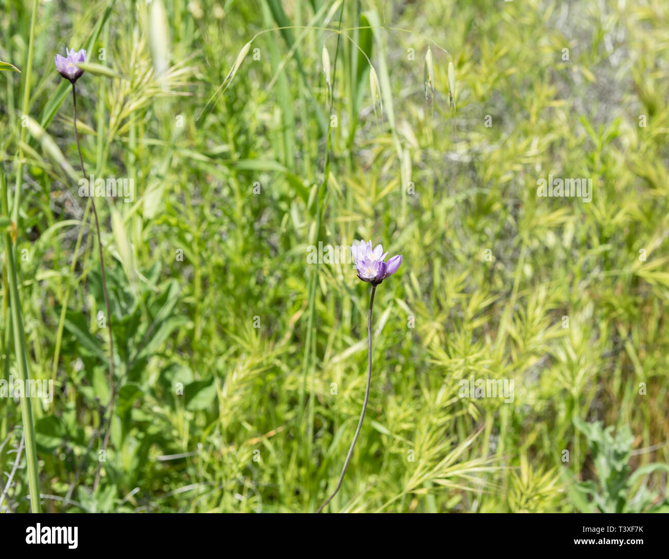 Beautiful wild flowers - a part of the superbloom phenomena in the Walker Canyon mountain range near Lake Elsinore, Southern California - Stock Image