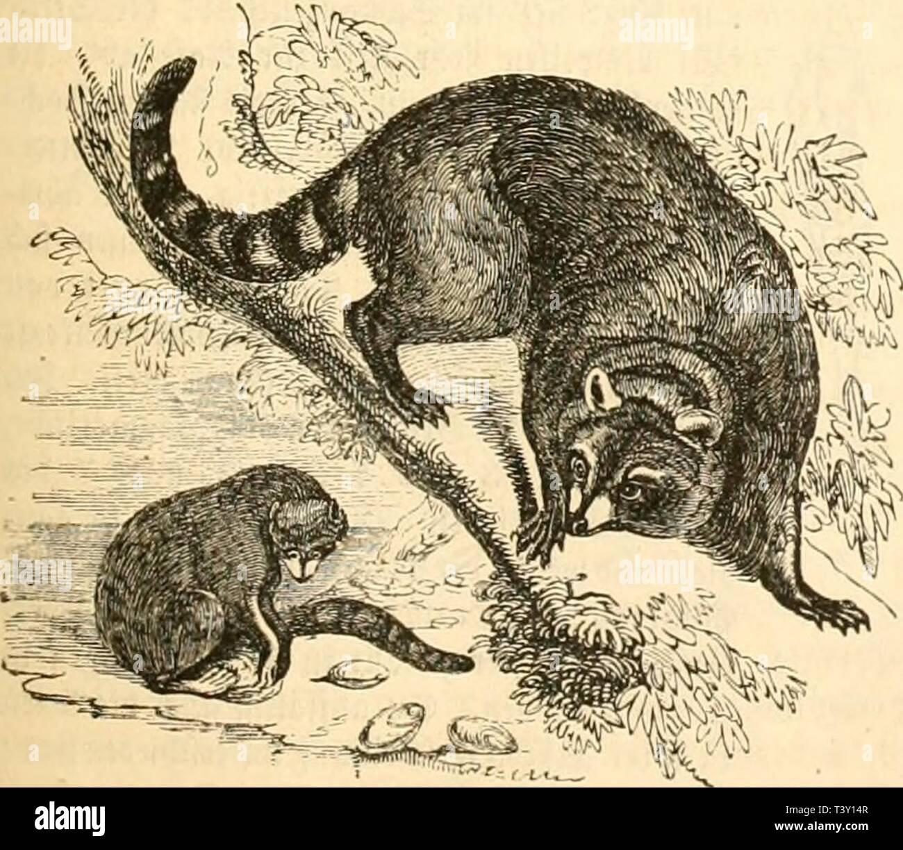 Archive image from page 224 of Die Naturgeschichte des Thierreichs (1859). Die Naturgeschichte des Thierreichs  dienaturgeschich01gieb Year: 1859  Ter nniieine SBofdjliäv. T)ie taaten Jeimat tcö äBafd;bären liegt in ten inn-eiiiten Si'iMtamerifaö, wo er bi« in Tic iiclargegenten 7iu. 3öi    Tel- sjdiieiiie aL'afilil-ai-. mung ift ober irgenti etipa« Sntereffante« auf tcr pur bat, fd'ivft er leidn unt bebenb taliin, fteüt fidi fpäbent auf tie ,*}intcrbeine, flettert gefducft unt fdined ron St]! ,;u »>lft. Smige «Icbren i'cn aJiat«, 3urfcrrcbr, Slepfcl, Äaftanien, SBeintraubcn »äbtt er jur * - Stock Image