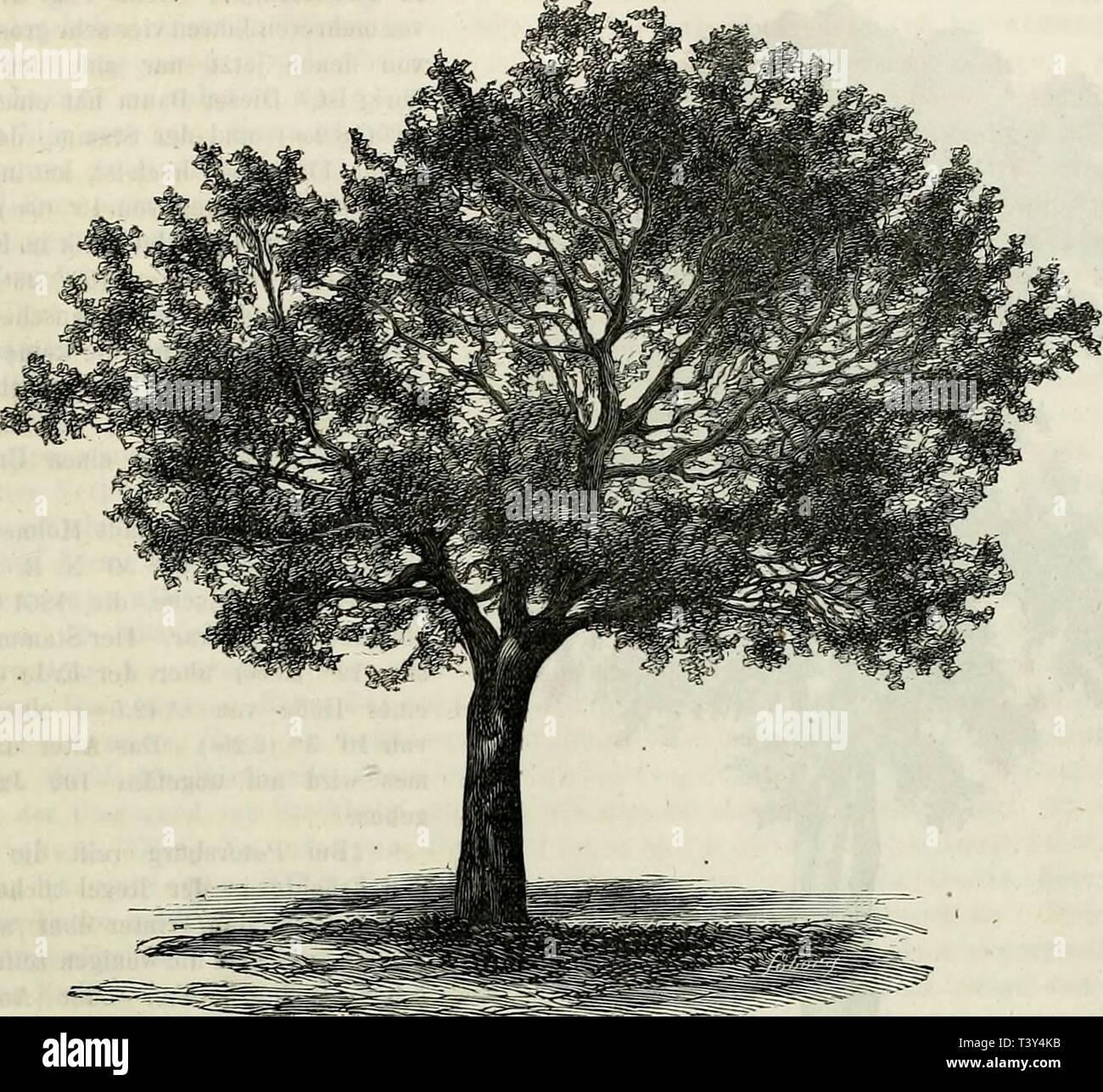 Archive image from page 300 of Die Pflanzenwelt Norwegens  ein. Die Pflanzenwelt Norwegens : ein Beitrag zur Natur- und Culturgeschichte Nord-Europas.  diepflanzenweltn73schu Year: 1873-75  255 Fig. 54.    Beim Hofe By, im Kirchspiele Stod am Ende desThrondhjems-Fjord (64° 2'), findet man mehrere gepflanzte Eschen, die im Mai 1863 gemessen wurden und damals 20 Jahre alt waren. Der grösste dieser Bäume war 28' (8.8m-) hoch, und der Stamm hatte in der Brusthöhe einen Umfang von 25' (64cm.). Die längsten Jahrestriebe massen 3' 5' (lOVcm). Diese Bäume hatten sich dort seit mehreren Jahren durch Se - Stock Image
