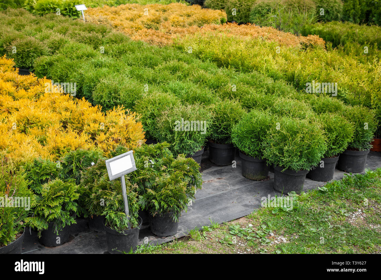 Thuja and cypresses plants in pots for sale on tree farm. - Stock Image