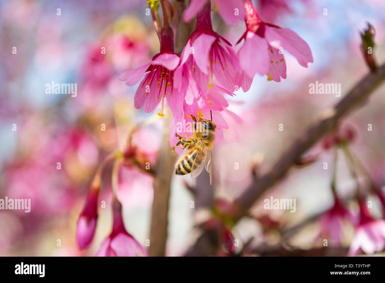 Closeup of a honey bee working hard collecting pollen from a beautiful pink spring flower - Stock Image