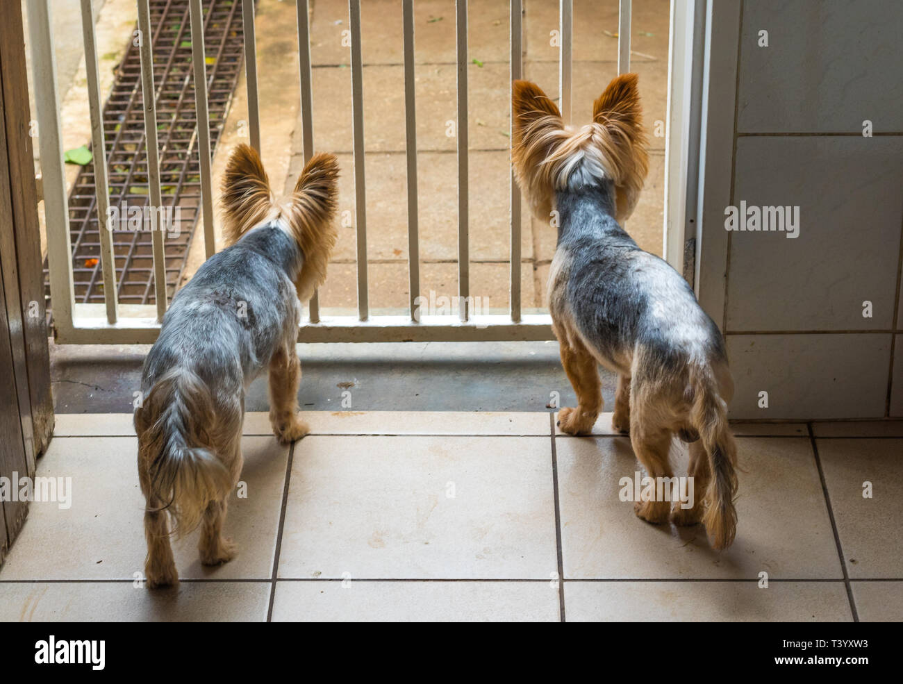 Pet dogs in a dilemma - can not get through a gate to play outside image with copy space - Stock Image