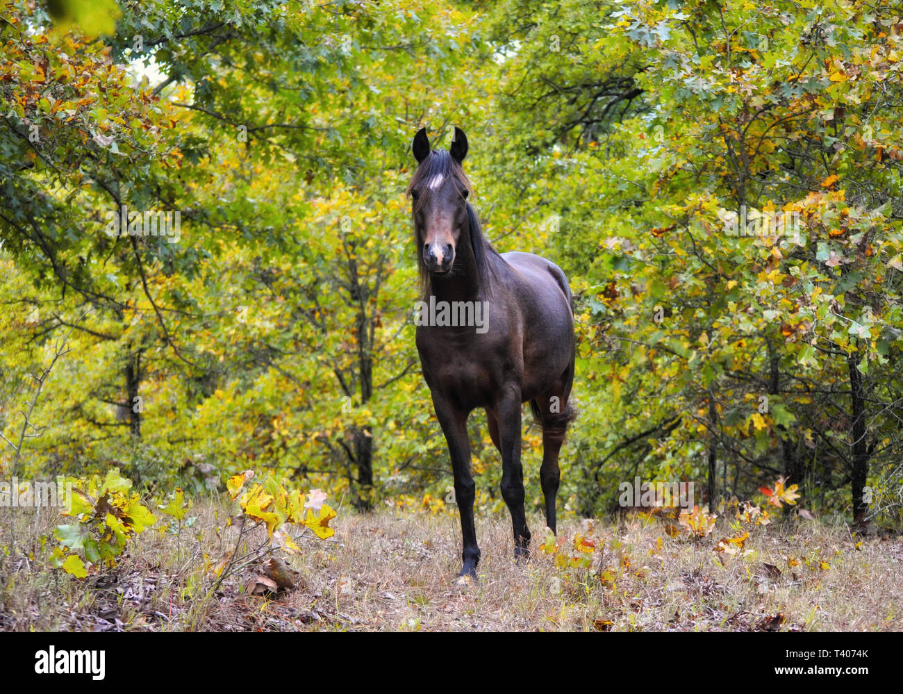 Dark bay Arabian horse looking at the viewer, standing in the middle of autumn trees - Stock Image