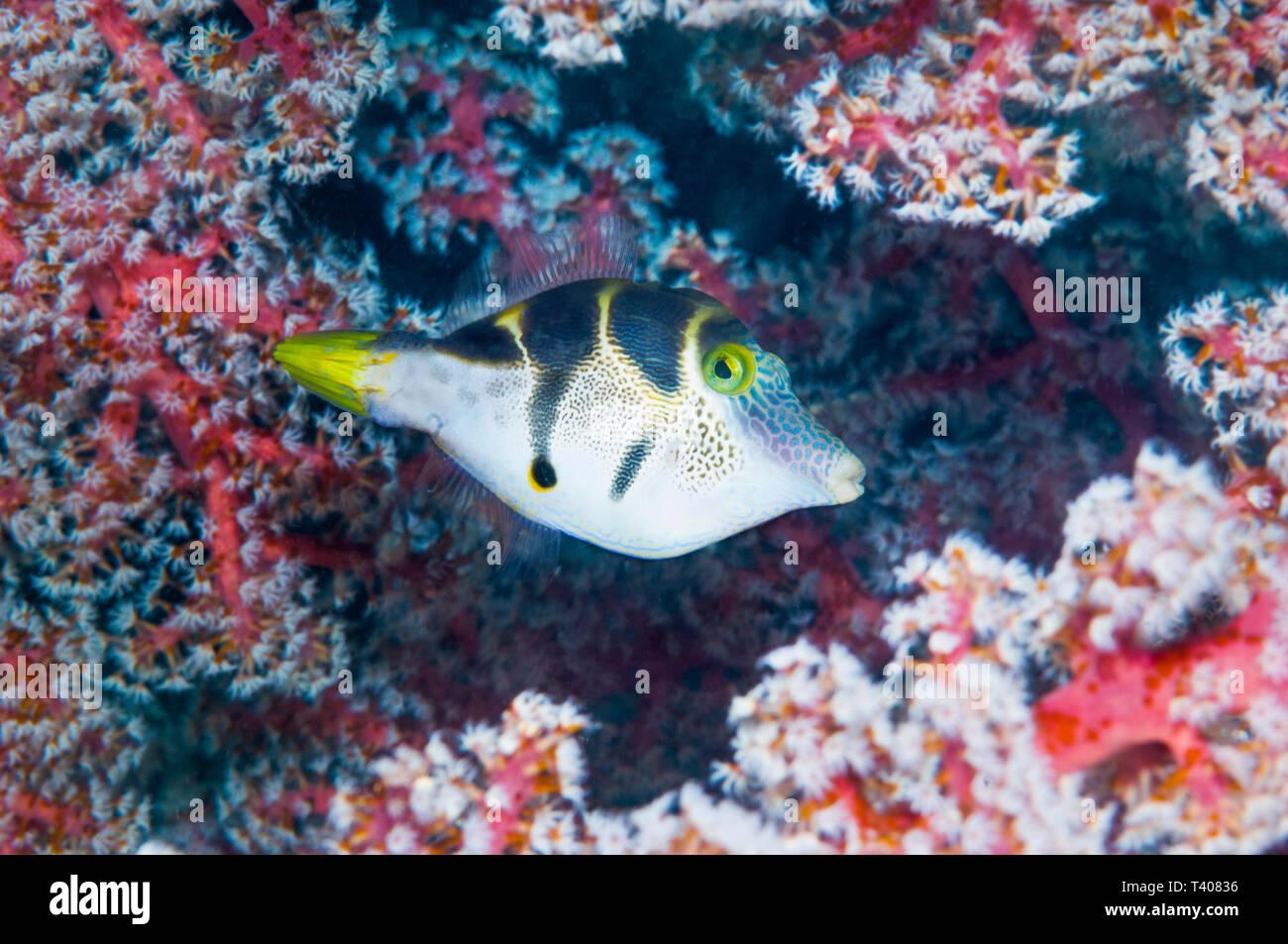 Mimic filefish [Paraluteres prionurus].  Komodo National Park, Indonesia. Stock Photo