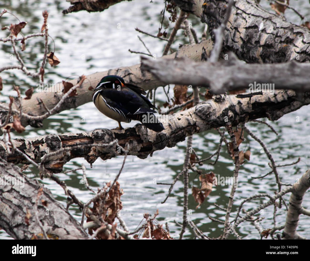 Wood duck on a tree limb. - Stock Image
