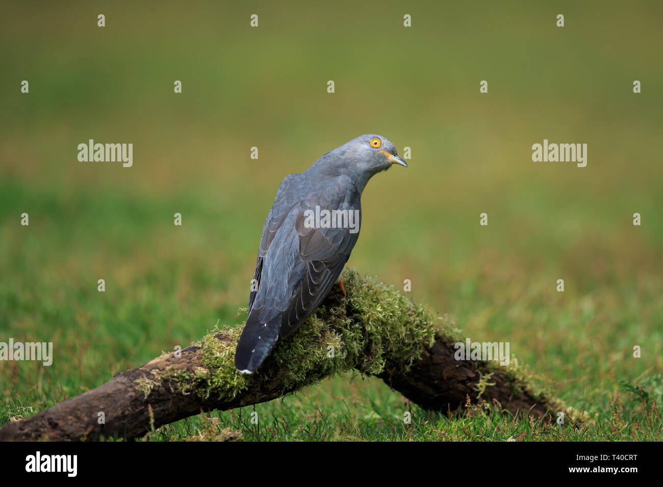 A Common cuckoo on the ground in spring - Stock Image