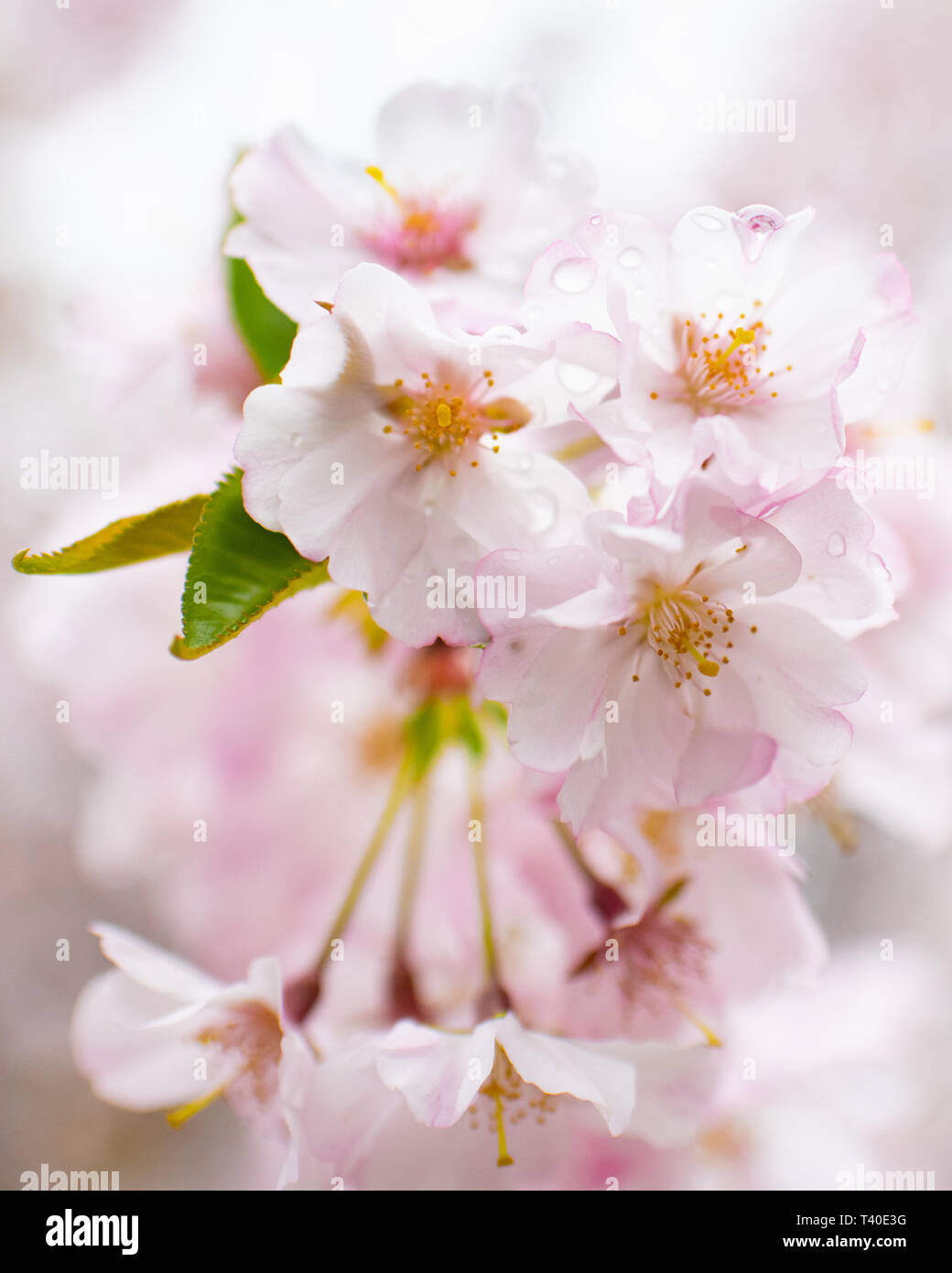 Cherry tree blossoms in spring - prunus rosaceae blossom close up -flowering trees blooming with pink and white flowers - cherry tree blossom close up Stock Photo