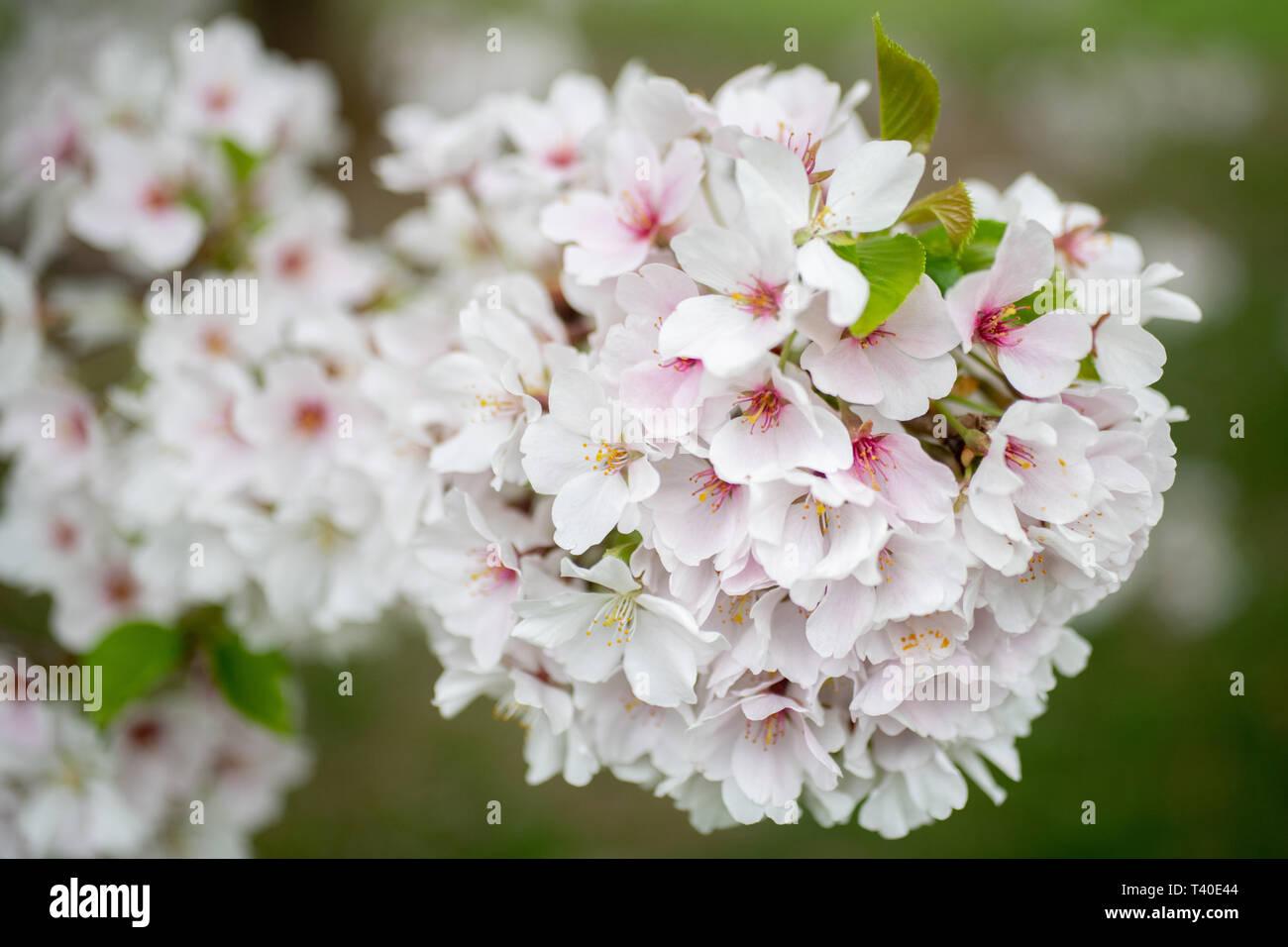 Prunus X Yedoensis Cherry Tree Blossoms In Spring Flowering