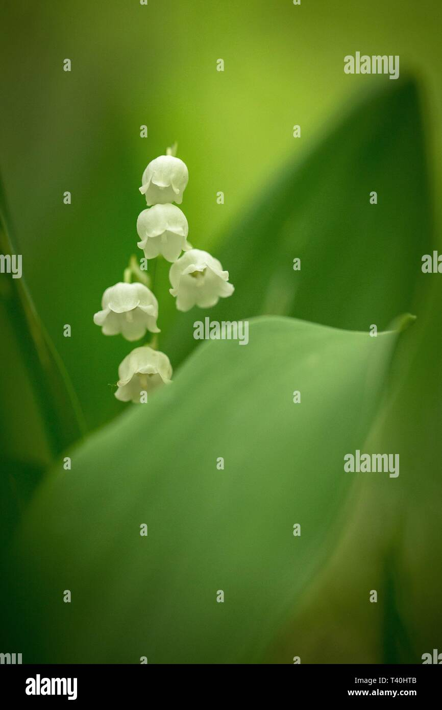 Beautiful Lily Of The Valley Convallaria Majalis Grow In Forest