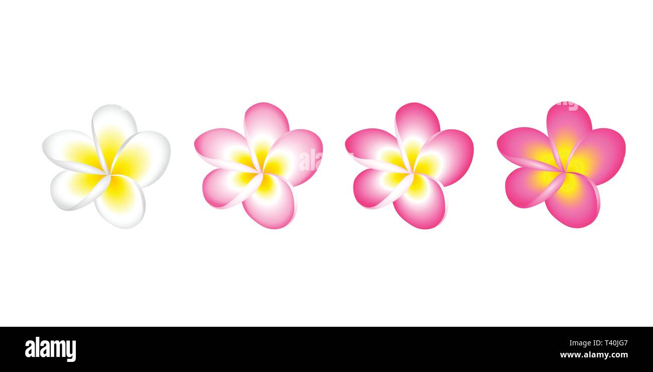 plumeria frangipani flower blossom white and pink set isolated on white background vector illustration EPS10 - Stock Vector