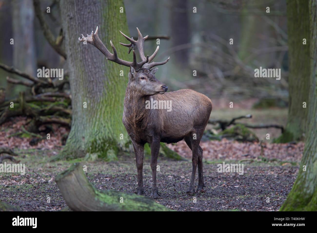 Rothirsch - Maennchen, Cervus elaphus, red deer - male Stock Photo