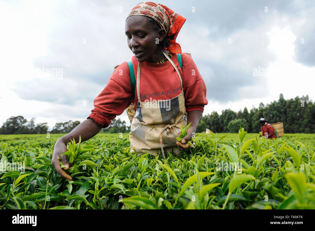 KENYA Limuru, Tigoni,  tea harvest, women pluck green tea leaves in tea garden, two leaves and a bud / KENIA, Tee Ernte, Frauen pfluecken die Teeblaet - Stock Image