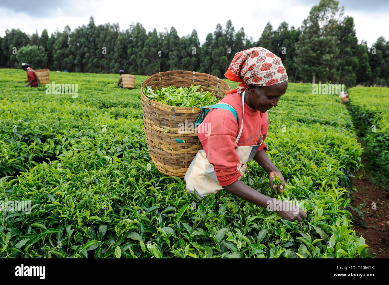 KENYA Limuru, Tigoni,  tea harvest, women pluck green tea leaves in tea garden / KENIA, Tee Ernte, Frauen pfluecken die Teeblaetter - Stock Image