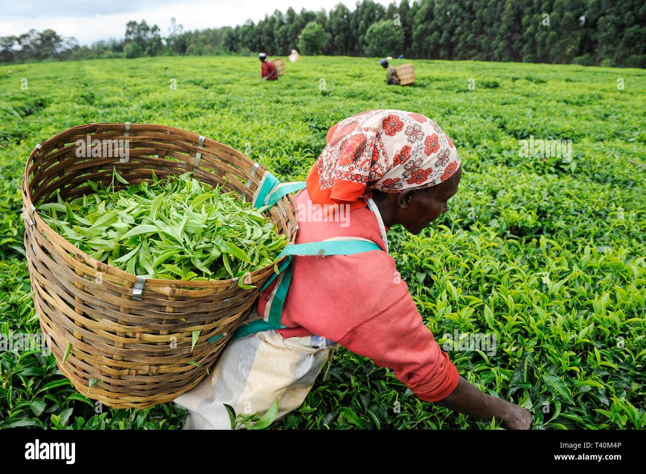 KENYA Limuru, Tigoni,  tea harvest, women pluck green tea leaves in tea garden / KENIA, Tee Ernte, Frauen pfluecken die Teeblaetter - Stock Image
