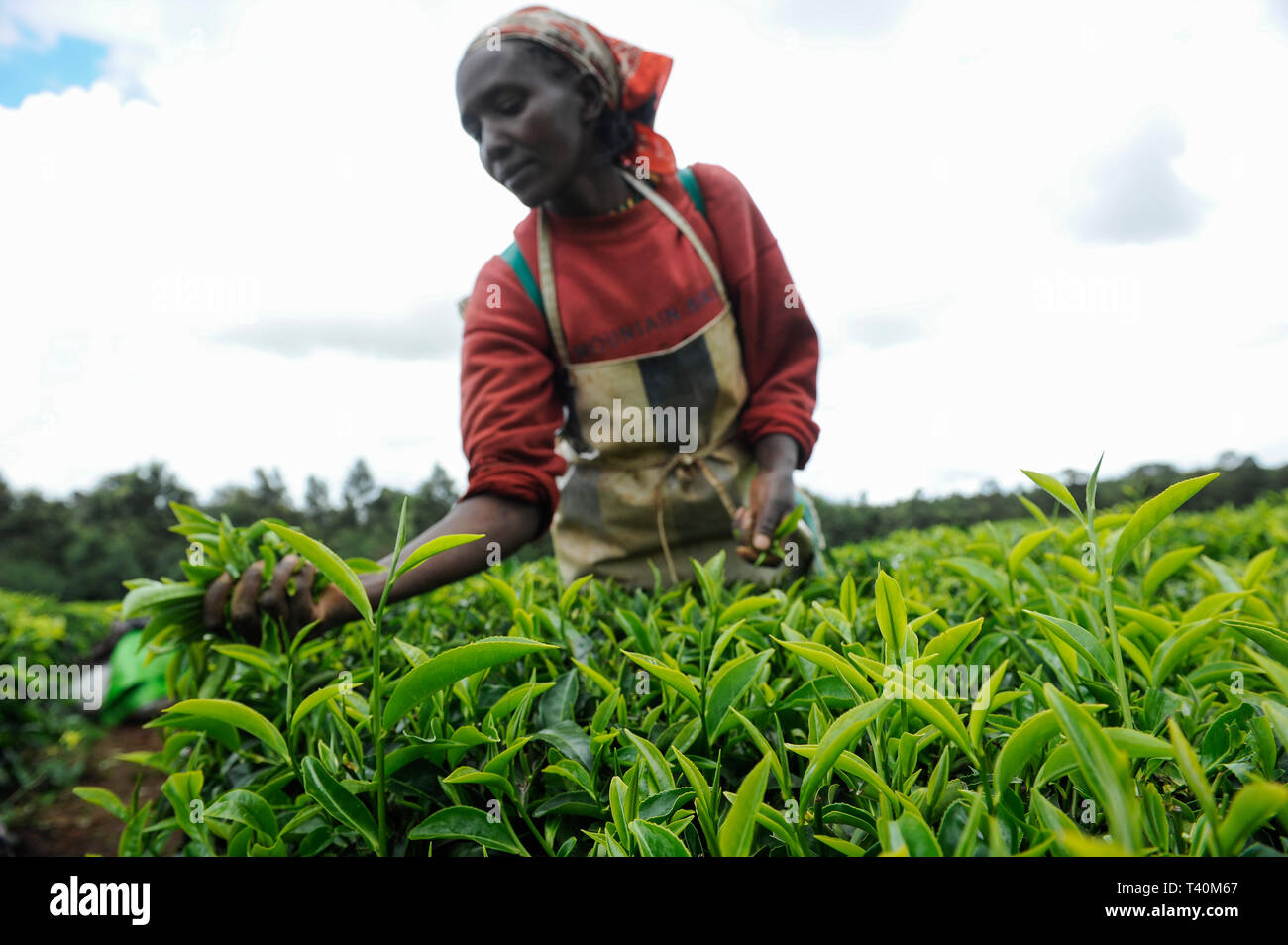 KENYA Limuru, Tigoni,  tea harvest, women pluck green tea leaves in tea garden, two leaves and a bud / KENIA, Tee Ernte, Frauen pfluecken die Teeblaet - Stock Image