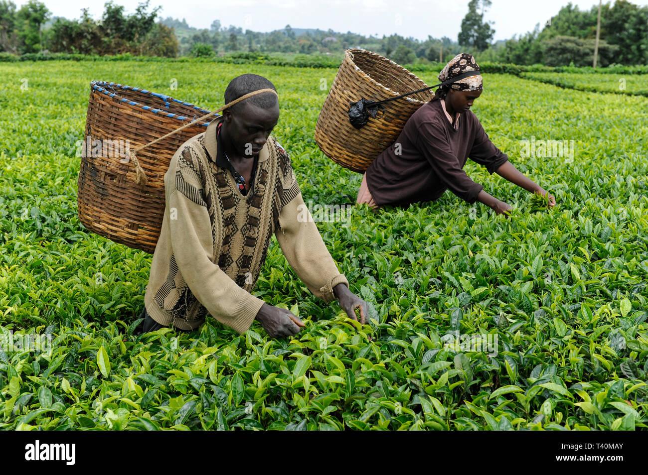 KENYA, Muranga, village Ndiriti, worker harvest tea leaves - Stock Image
