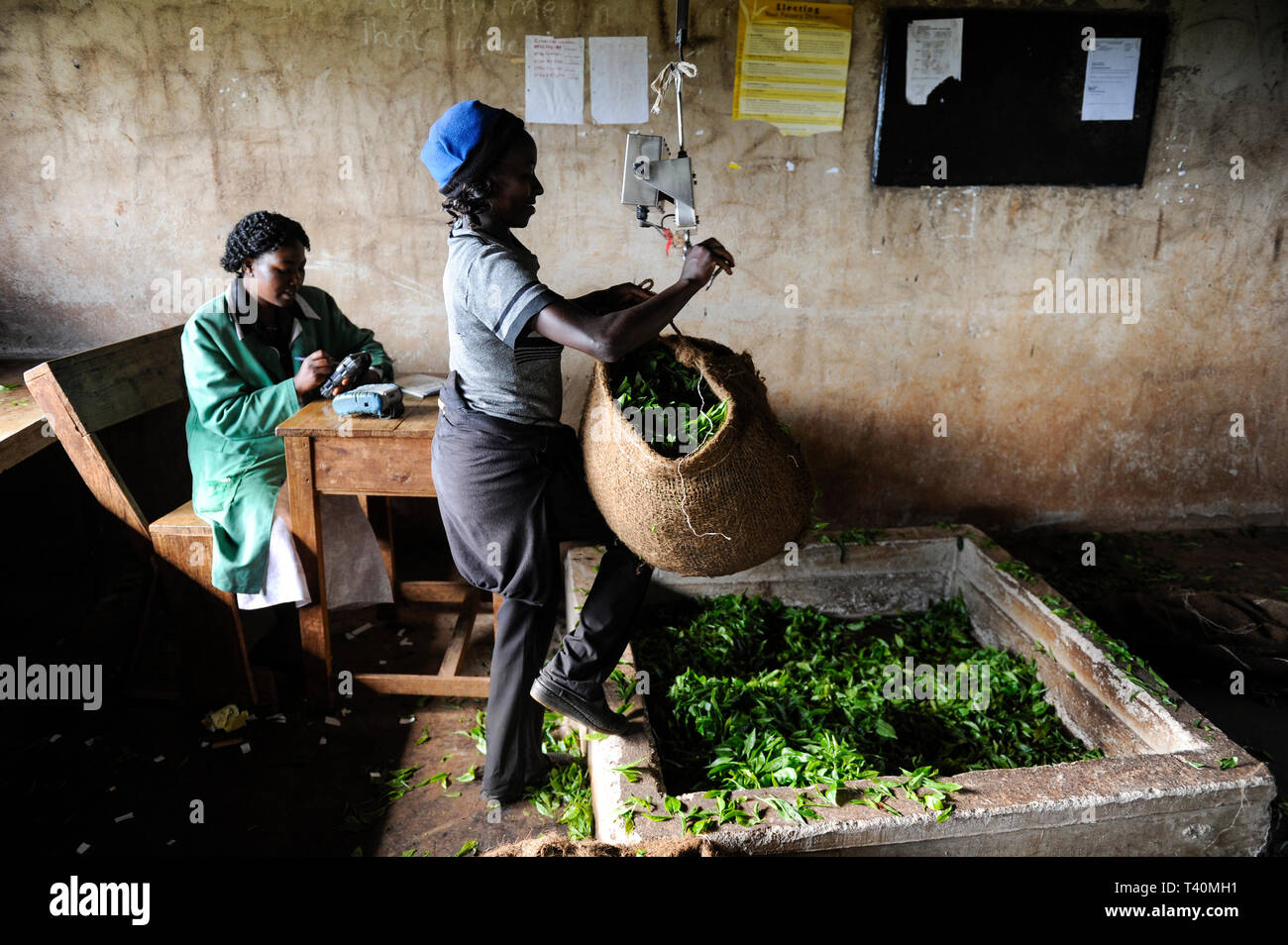 KENYA, Muranga, village Ndiriti, worker harvest tea leaves, collection point, jute bags - Stock Image