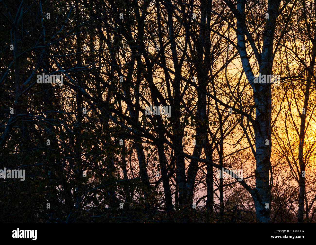 A Beautiful Red Sun Setting Behind Silver Birch Trees in a Garden in Alsager Cheshire England United Kingdom UK - Stock Image