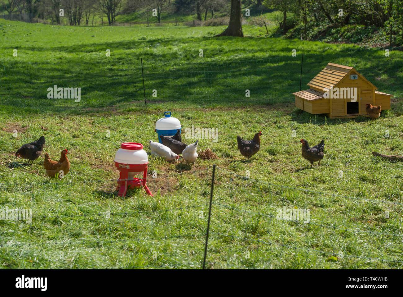 chicken run in garden - Stock Image