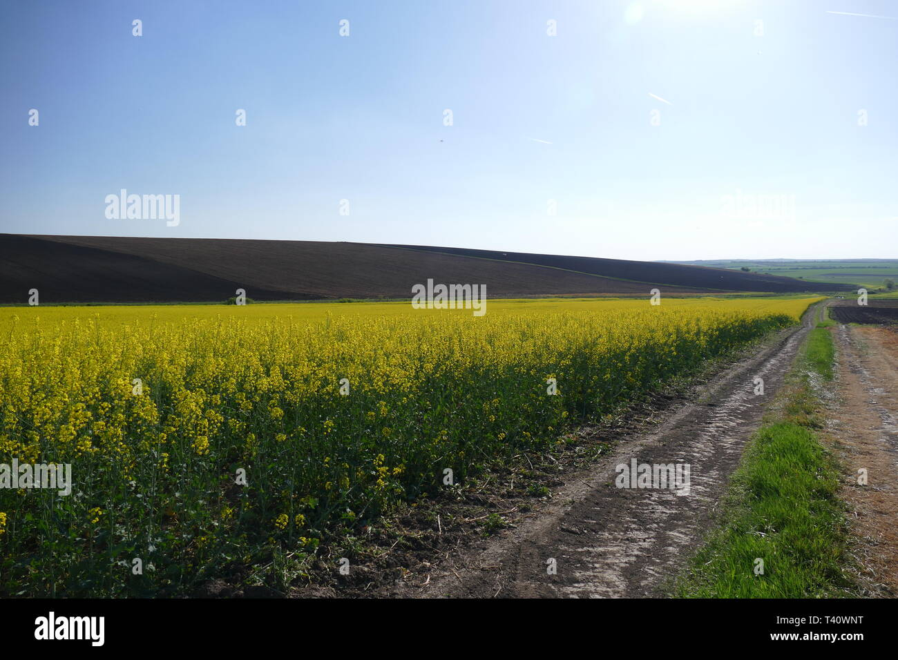 Agricultural land. Treated fields in the plane. In the foreground - blooming rape. Dirt road. Stock Photo