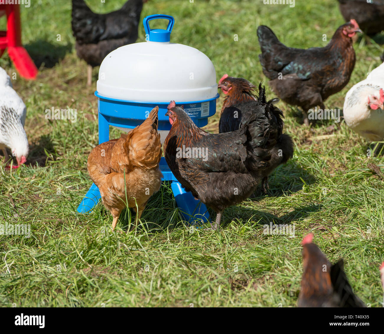 chickens free range with water drinker - Stock Image