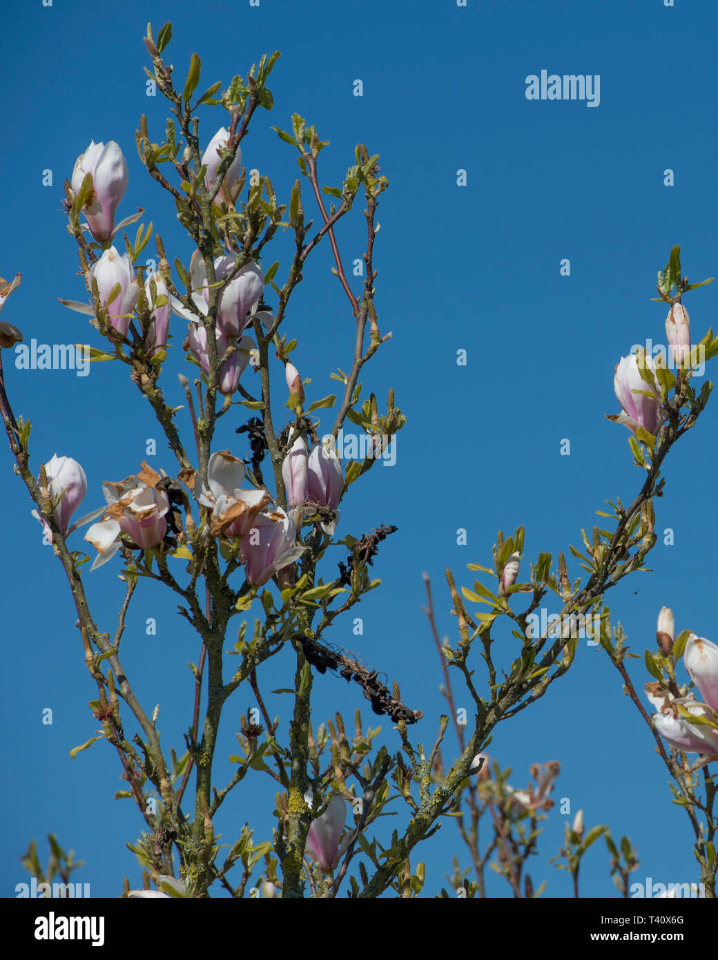 magnolia tree budding with blue sky Stock Photo