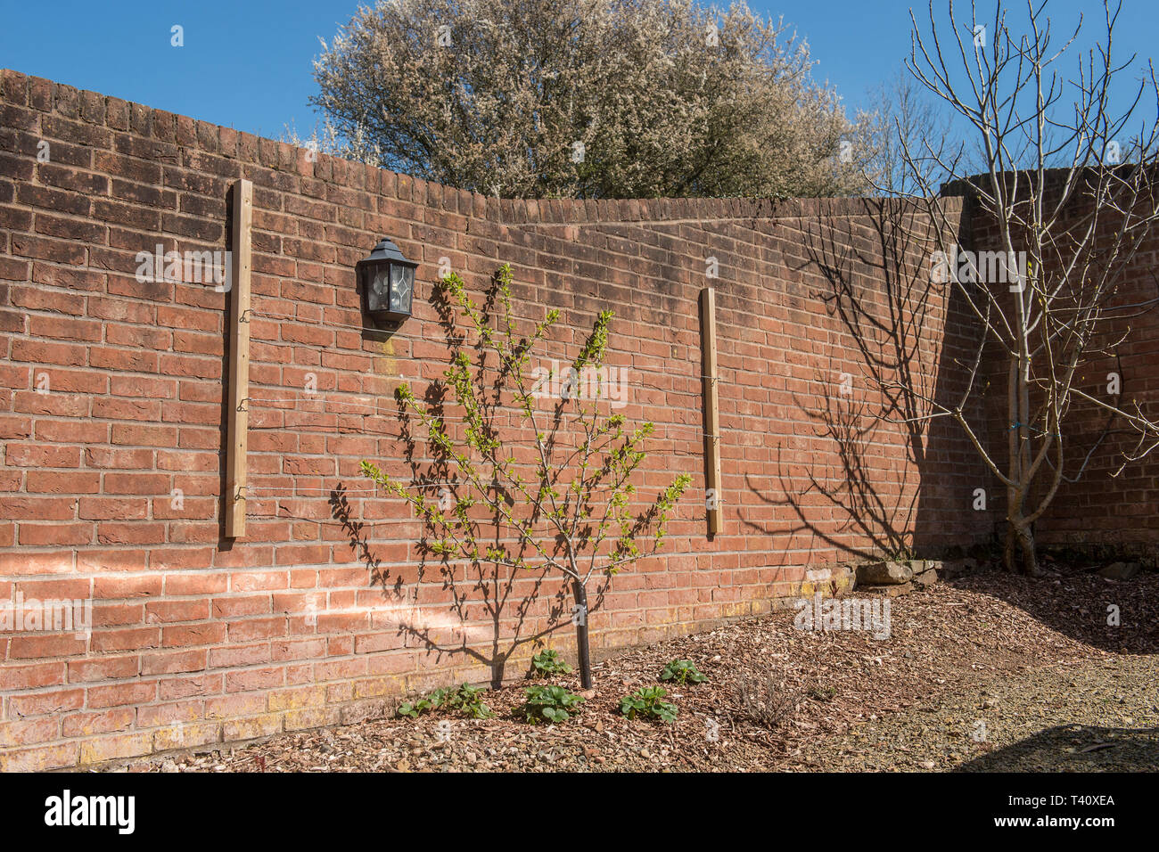 fruit trees being trained on a wall - Stock Image