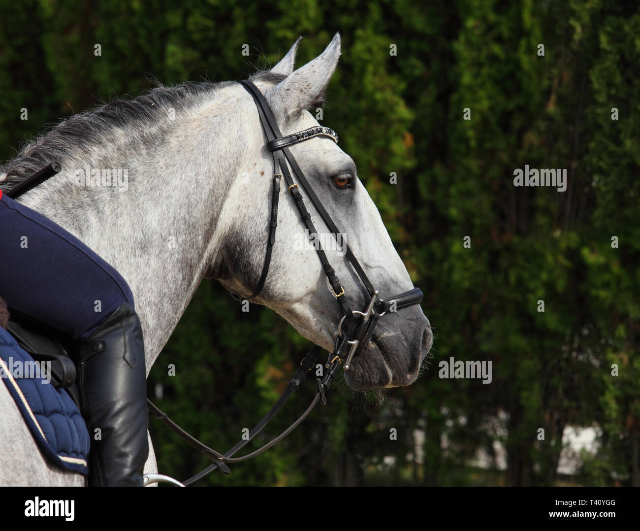 Grey dappled PRE horse summer dark woods portrait - Stock Image