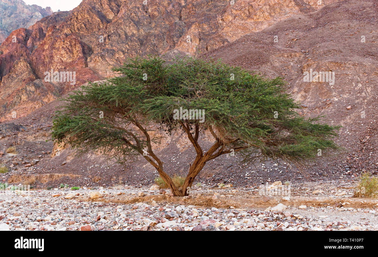 A Single Umbrella Thorn Acacia In The Eilat Mountains Of Israel With