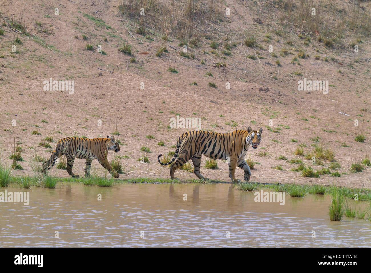 Royal Bengal Tiger or Panthera Tigris or Indian Tiger mother and her cub beside water body at Bandhavgarh National Park,Madhyapradesh India. - Stock Image