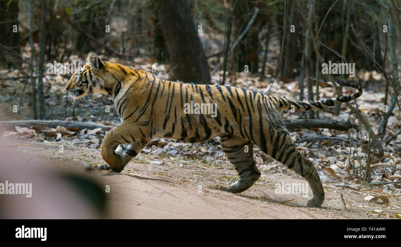 Royal Bengal Tiger or Panthera Tigris or Indian Tiger crossing road at Bandhavgarh National Park,Madhyapradesh India. - Stock Image