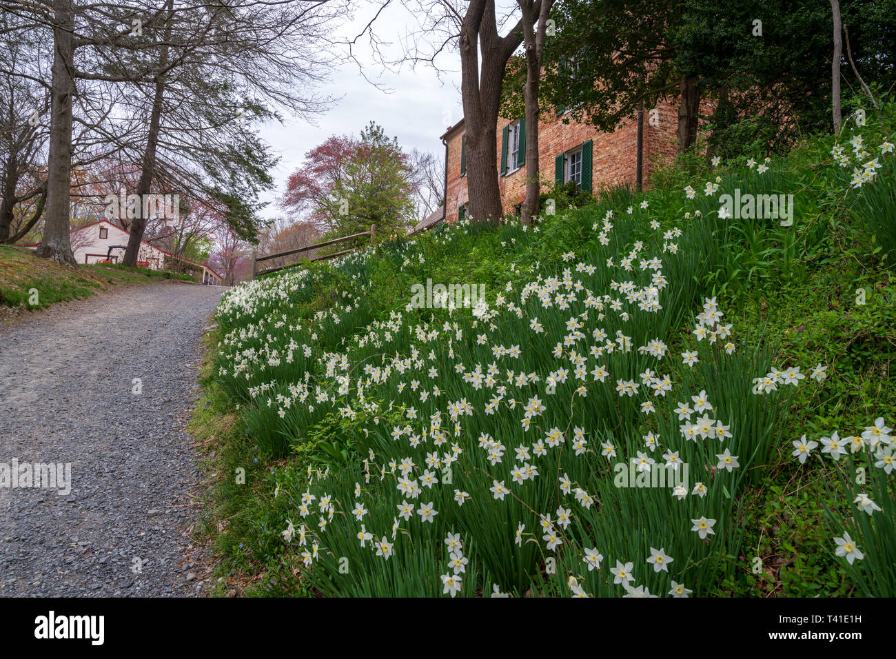 A gray gravel path in Colvin Run Mill winds past a flower bed and a mill house on a spring day in Virginia. - Stock Image