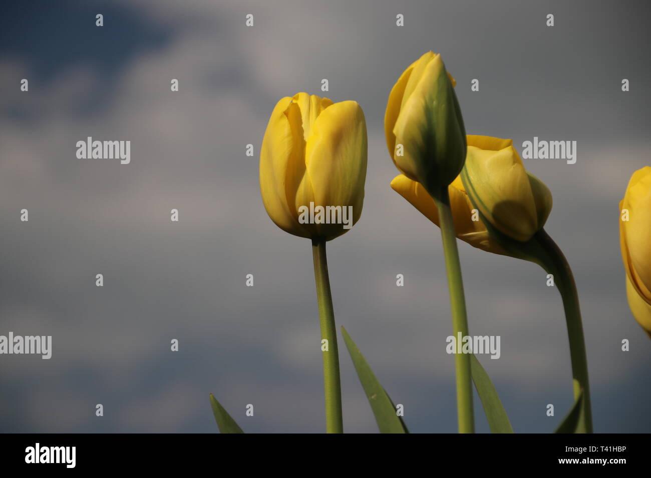 Yellow tulips in rows on flower bulb field in Noordwijkerhout in the Netherlands Stock Photo