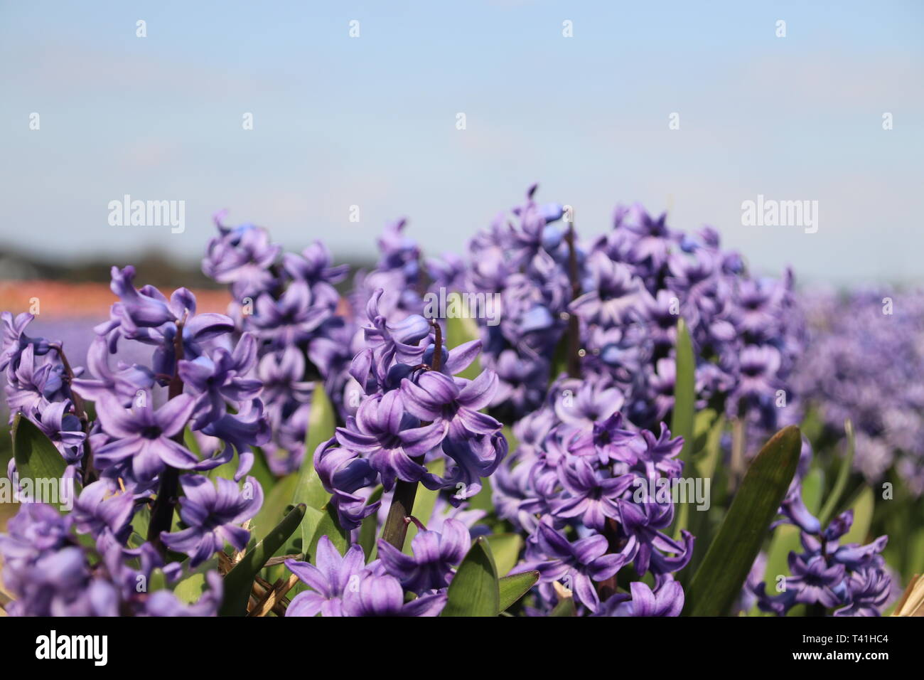 Purple Hyacinths in rows on flower bulb field in Noordwijkerhout in the Netherlands Stock Photo