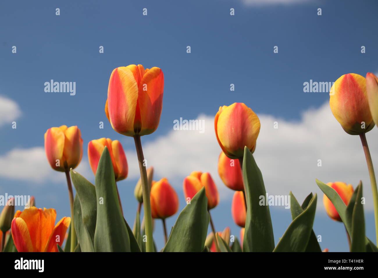Orange tulips in rows on flower bulb field in Noordwijkerhout in the Netherlands Stock Photo