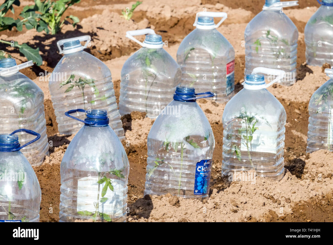 Plastic bottles protecting young plants from morning cold, allotment garden Spain Stock Photo