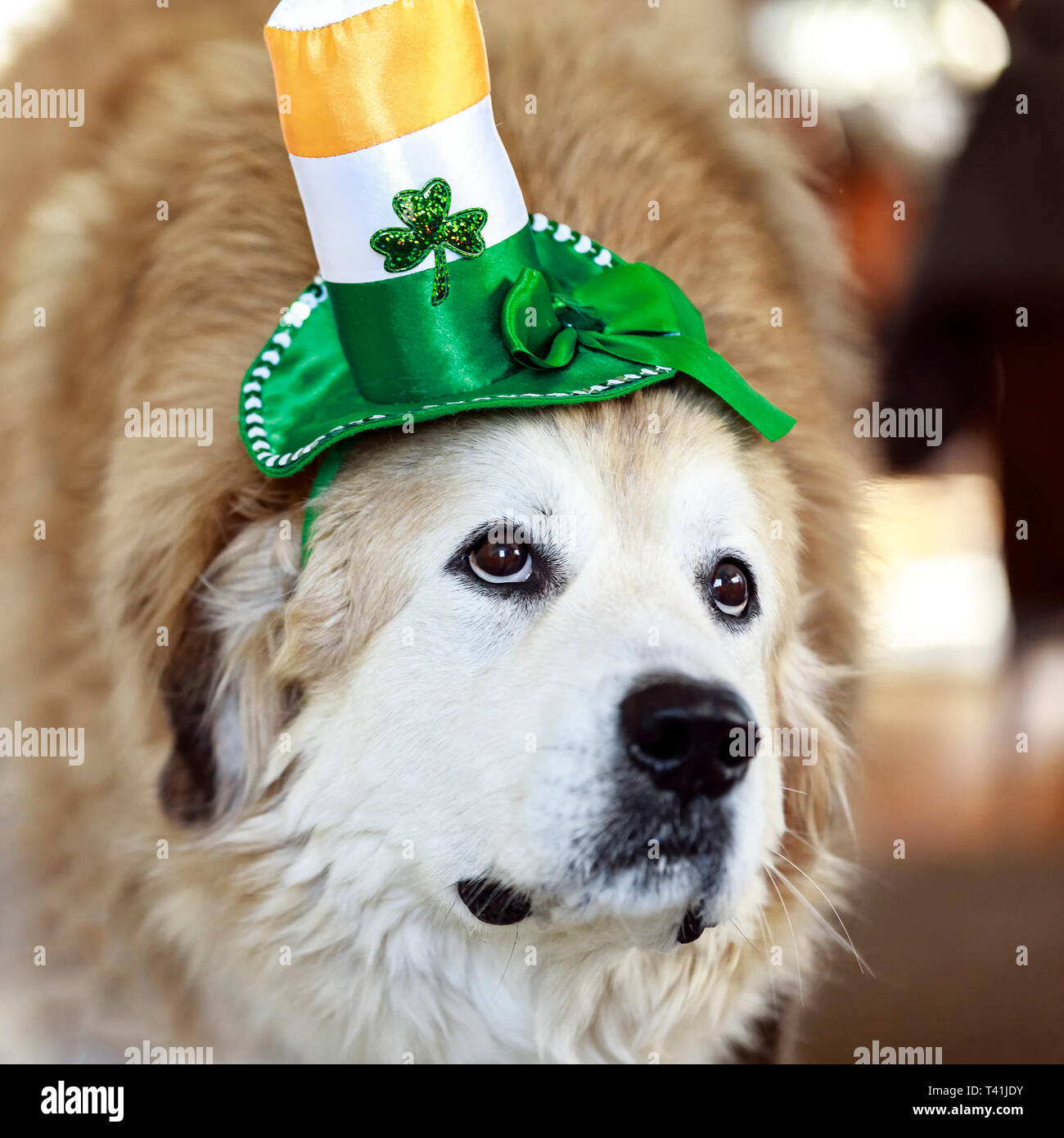 Dog wearing St. Patrick's Day hat. - Stock Image